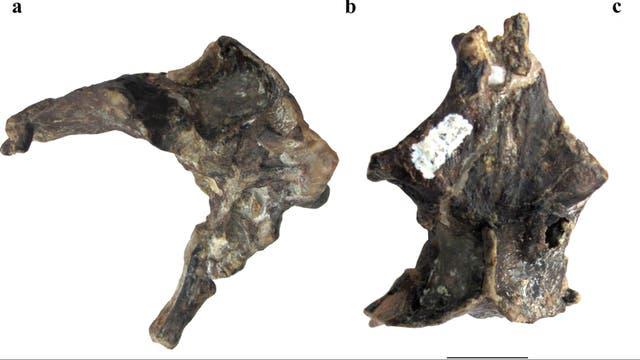 Piezas halladas por paleontólogos argentinos
