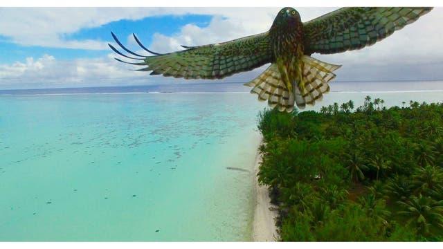 Ataque de pájaro, Polinesia Francesa