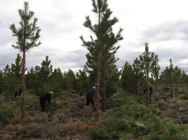 En el mantenimiento de las forestaciones ya se llevan invertidos 4,2 millones de dólares