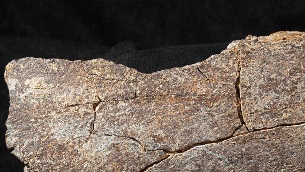 La superficie del hueso del mastodonte que muestra la muesca del medio impacto en un segmento del fémur.. Foto: AFP / San Diego Natural History Museum
