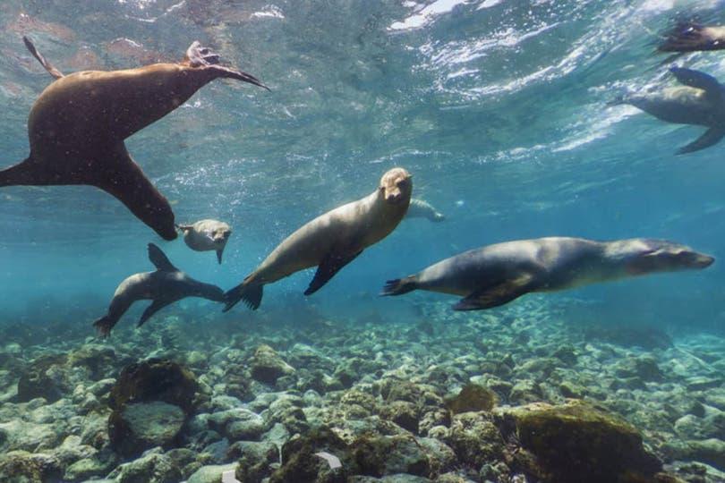 Los leones marinos de la Islas Galápagos son una de las especies autóctonas que más abundan en ese lugar. Estudios han estimado que su población es de entre 20.000 y 50.000 ejemplares. Foto: Google