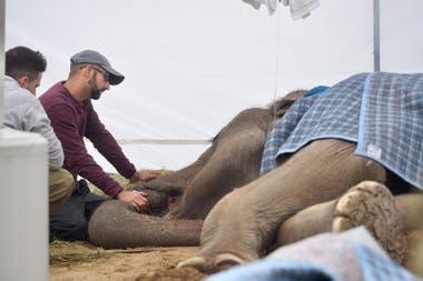 Más temprano, el director del Santuario de Elefantes de Brasil, Scott Blais había dicho que Pelusa estaba en la etapa final de su vida