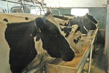 La producción de leche demandó 1,7 millones de toneladas del cereal
