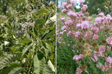 Izq.: Solanum granuloso-leprosum. Der.: Eupatorium macrocephalum