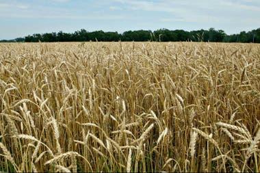 En el mercado de trigo, cada año es un partido distinto