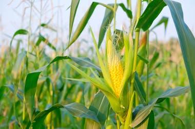 El maíz fue uno de los cultivos que tuvo mejora de precios