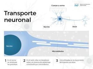 Cómo actúa la proteína Tau en el transporte neuronal