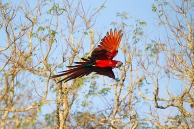 A fines de junio pasado cinco guacamayos rojos juveniles fueron liberados en el norte del Gran Parque Iberá