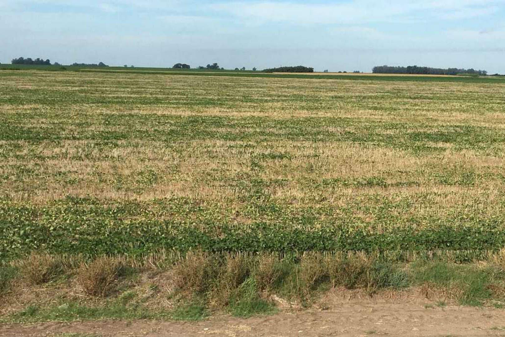Una soja en la zona de Bigand, Santa Fe, con graves pérdidas por la sequía