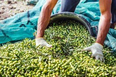 Con 30.000 hectáreas plantadas, La Rioja es la primera productora de aceitunas de mesa del país