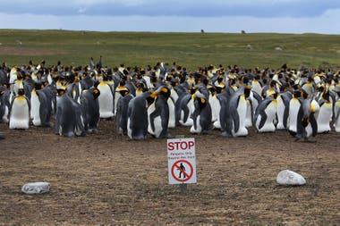 En Malvinas hay cinco especies de pingüinos: Aptenodytes patagonicus (rey), Pygoscelis papua (papúa), Eudyptes chrysocome (de penacho amarillo), Spheniscus magellanicus (de Magallanes) y Eudyptes chrysolophus (Macaroni o de penacho anaranjado)