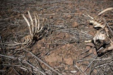 Según cifras del ministerio de Agricultura, hasta la fecha han muerto 34.000 animales debido a la falta de agua