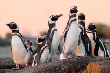 Actualmente hay una colonia de 12.000 pingüinos y 4000 nidos en Islote Lobos