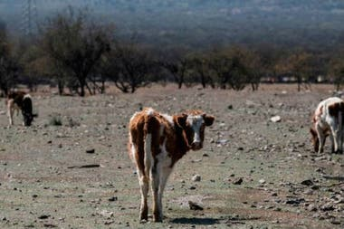 El precio del ganado ha bajado abruptamente mientras que el de los fardos de pasto para alimentarlos se ha disparado