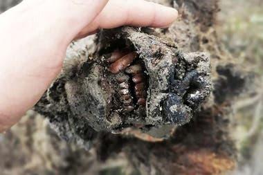Los restos del cadáver conservado por el frío de un cachorro de oso de las cavernas han sido encontrados en la región siberiana de Yakutia