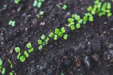 Una vez sembradas las semillas, la germinación de la rúcula se producirá entre los 10 y los 14 días. El suelo debe estar húmedo y abonado.