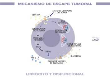 Dysfunctional T lymphocyte
