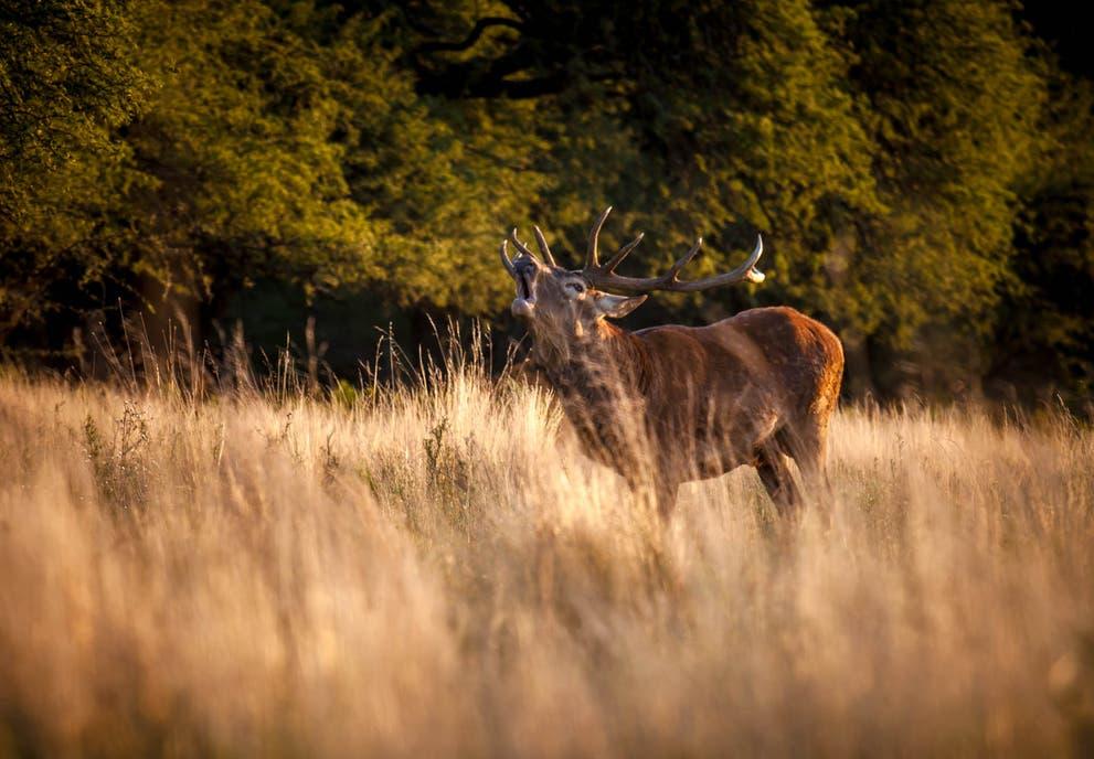 Desde finales de febrero hasta finales de abril es buena época para ver la brama de los ciervos en el Parque Luro, a 30 km de Santa Rosa.