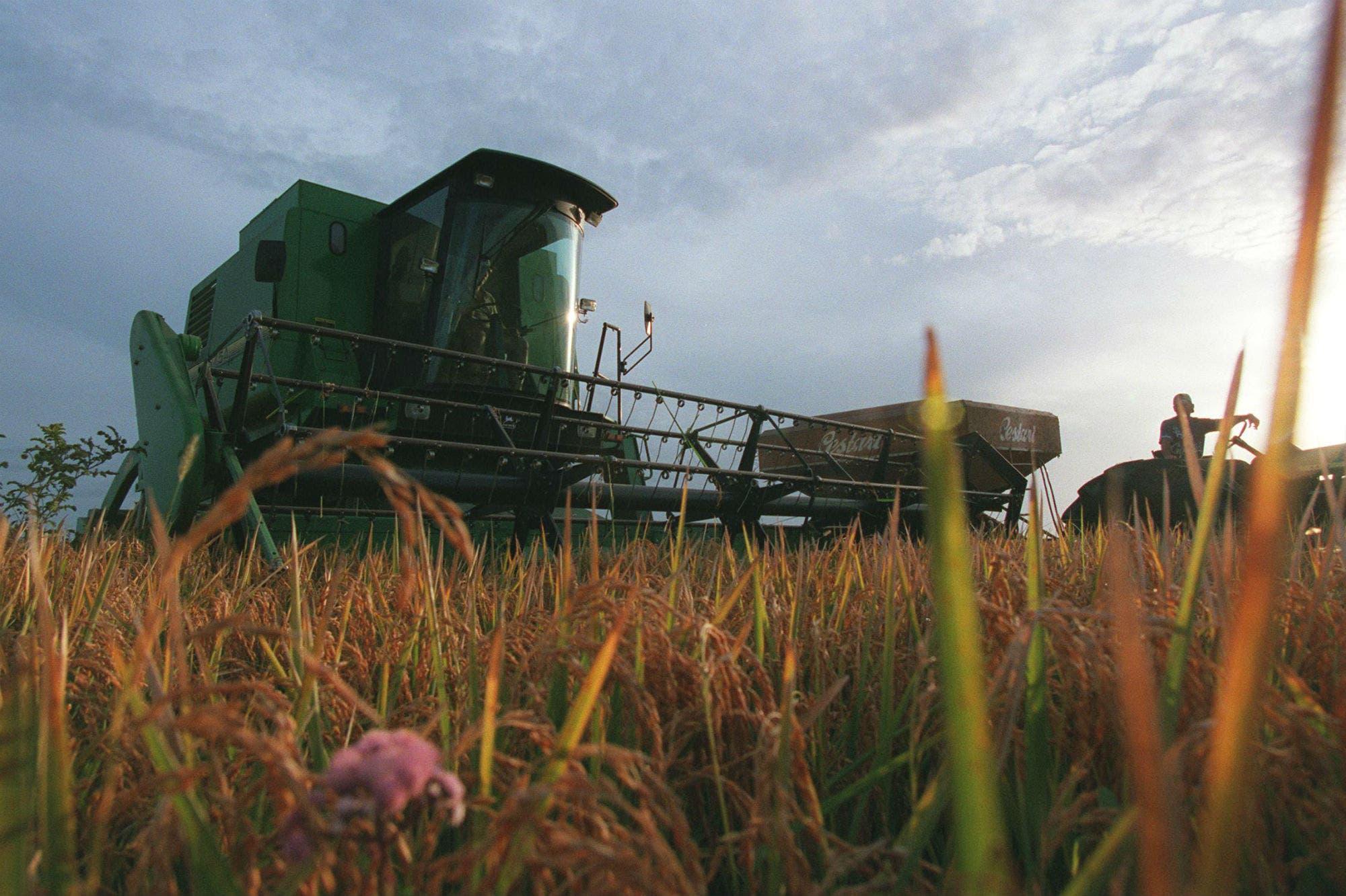 Desarrollan con biotecnología alfalfa y arroz tolerantes a sequía y salinidad
