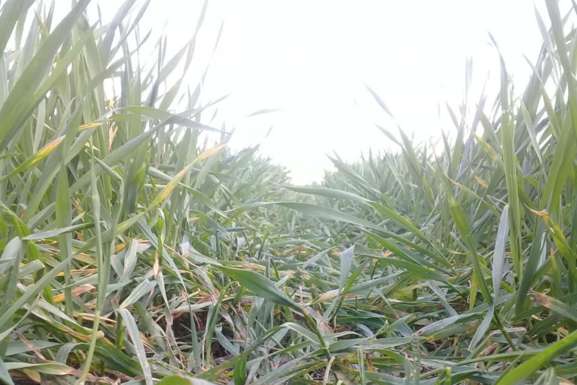 Otra semana con escasas lluvias mientras se deteriora la humedad para el trigo