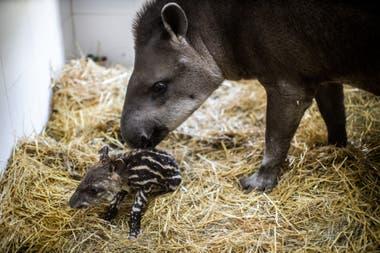 Una cría de tapir, de cuatro kilos, nació el miércoles en el Ecoparque porteño; el parto fue natural, sin complicaciones ni asistencia de veterinarios