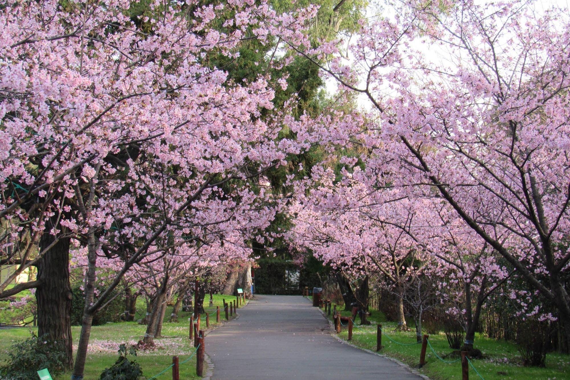 Arbol De Cerezo Japones florecen los cerezos en el jardín japonés - la nacion