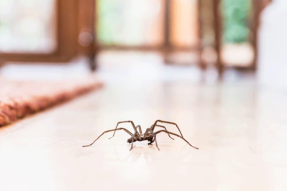 Por qué no deberías matar a las arañas que viven en tu casa - LA NACION
