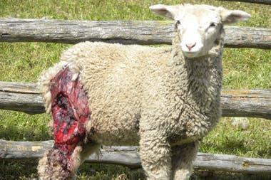 """Los perros asilvestrados atacan a las ovejas, pero no se las comen. Los productores aseguran que es parte de un """"juego"""" instintivo"""