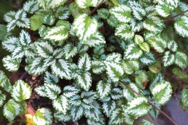 Lamium galeobdolon subsp. Argentatum