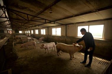 En China la enfermedad está ocasionando una fuerte reducción del stock de cerdos