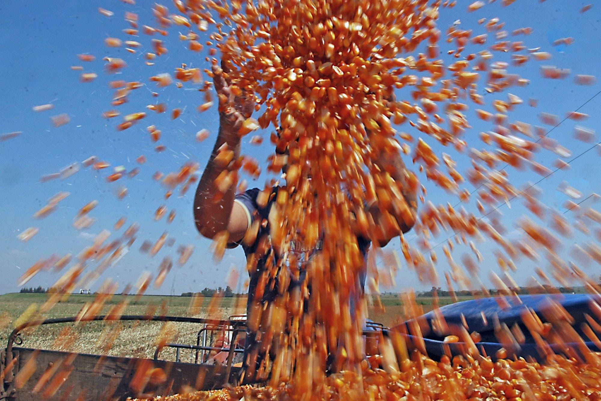 Con una suba del 4,1%, el precio del maíz volvió al nivel más alto desde julio de 2013 en Chicago