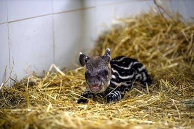 Una cría de tapir, de cuatro kilos, nació el miércoles en el Ecoparque porteño; la especie es considerada vulnerable de extinción y el ejemplar será introducido en su ambiente natural
