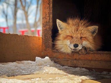 """""""Este zorro dormía dentro de la caja y asomaba la cabeza para disfrutar del sol durante la temporada de nieve""""."""