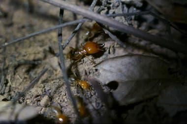 Una termita soldado con grandes pinzas monta guardia mientras que las termitas más pequeñas recolectan hojas muertas y las cortan en pedazos cerca de Lencois, Brasil