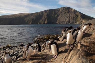 Colonias de pingüinos de penacho amarillo en Bahía Franklin