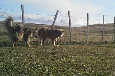Para los productores, los perros asilvestrados ocasionaron la fuerte caída en la cantidad de ovejas en Tierra del Fuego