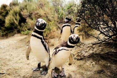 Colonia de pingüinos en Punta Ninfa, El Pedral.