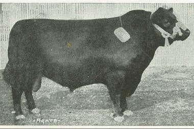 Un toro Angus premiado durante una exposición