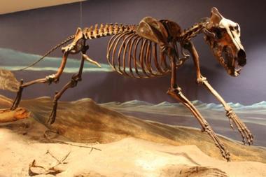 Los restos de un lobo terrible en el Museo del Rancho La Brea