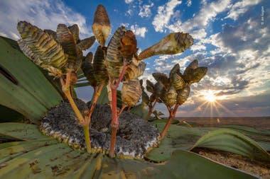 Categoría Plantas y hongos: una planta Welwitschia, que puede vivir hasta mil años, en el desierto de Namibia, el premio fue para Jen Guyton (Alemania-EEUU)