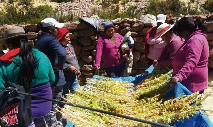 Sustentable: cosecha de quinua en Mina Pirquitas (Jujuy); empezaron a cultivarla en cantidad hace dos años y la venden a través de Internet