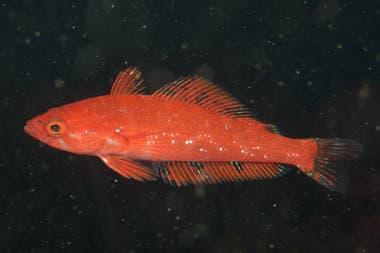 Patagonotothen squamiceps, una especie bentónica común observada en la excursión