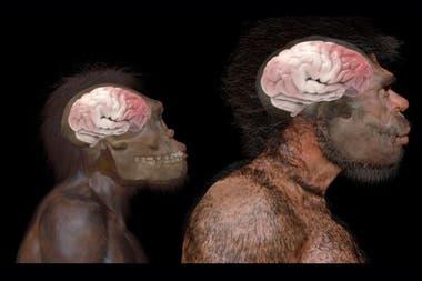 Comparación del tamaño del cerebro de Homo naledi (especie extinta) y Homo sapiens según fósiles hallados en Jebel Irhoud en Marruecos
