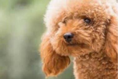 Un caniche toy como el de su mejor amiga: los papás le prometieron a Male que podrá ir a vivir con ellos después de la cuarentena.