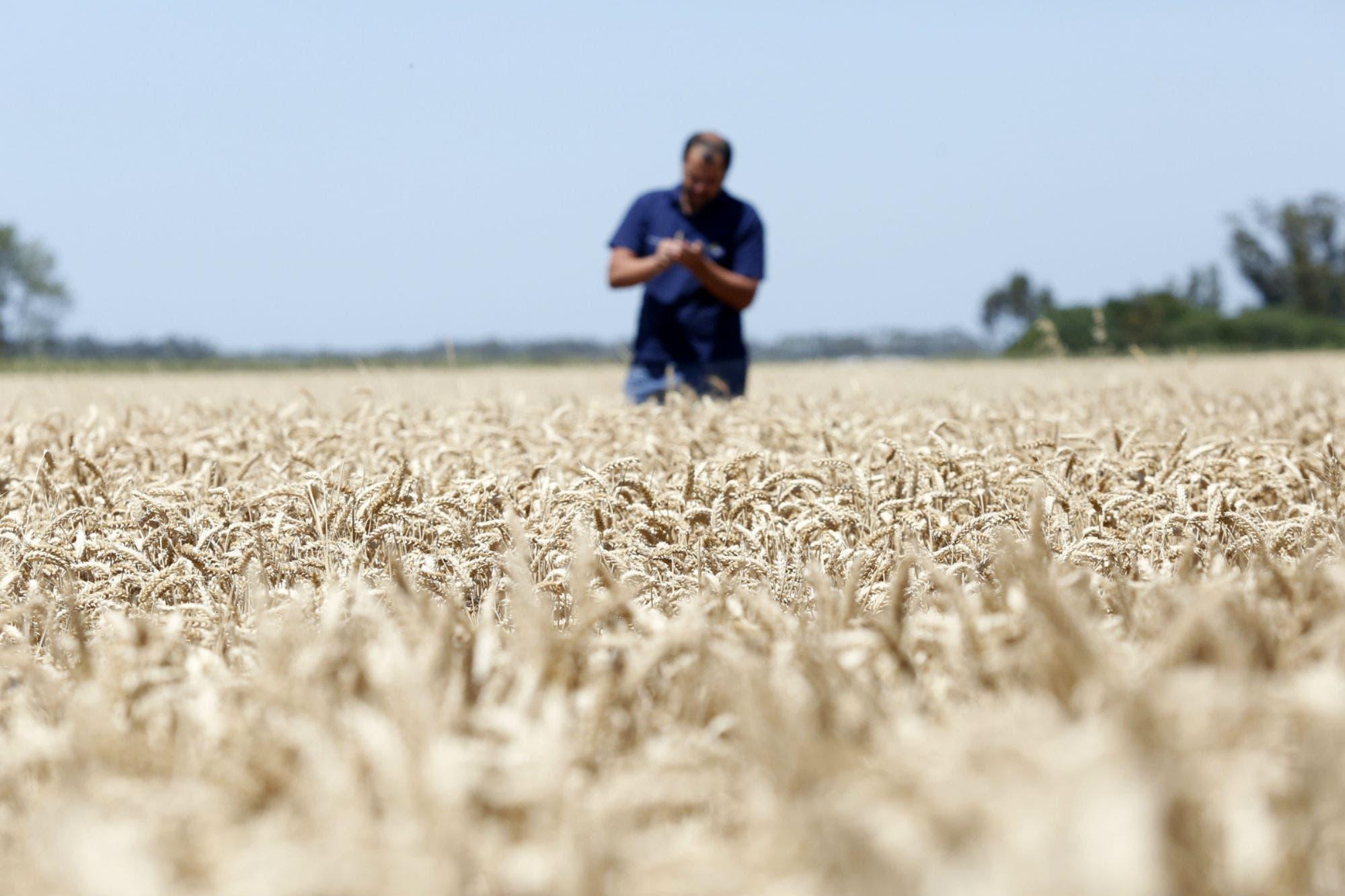 Con rindes históricos, elevan la cosecha de maíz y el trigo consolida la mayor siembra en 18 años