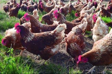 Carrefour comenzó a vender huevos de gallinas libres de jaulas