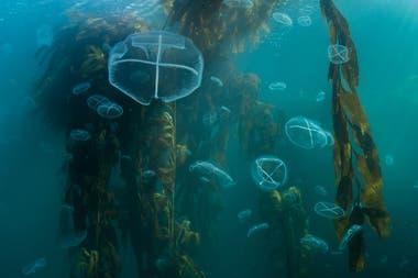 Bosque gigante de algas marinas. Bucear aquí se siente como deambular por un viejo bosque en crecimiento. Las plantas están ancladas a una profundidad de 20 metros en el fondo del mar, y aún flotan con varios metros en la superficie. Las algas gigantes pueden crecer hasta 30 centímetros por día