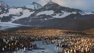 Las islas Georgias del Sur tienen la mayor colonia de pingüinos rey del mundo