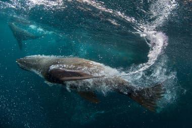 Especie de foca peletera que fue muy cazada en Tierra del Fuego hasta 1953
