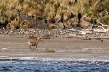Un ciervo rojo come algas en la zona intermareal en Isla de los Estados. El ciervo rojo fue introducido a la isla en la década del 70, supuestamente para proporcionar una fuente de proteínas a los sobrevivientes de naufragios en esta área remota